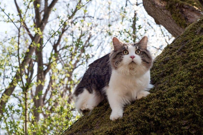 Красивый bobtail Kurilian кота идет весной в парк на поводке Любимец сидя на дереве, портрет крупного плана кот пушистый стоковое изображение