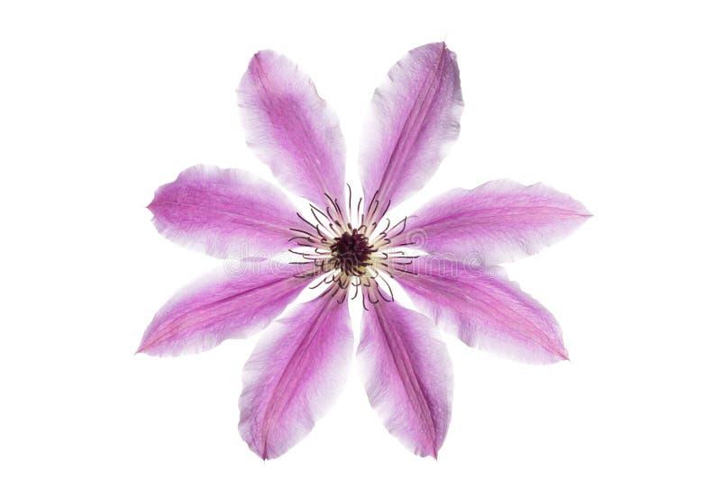 Красивый clematis сирени цветка стоковые изображения rf