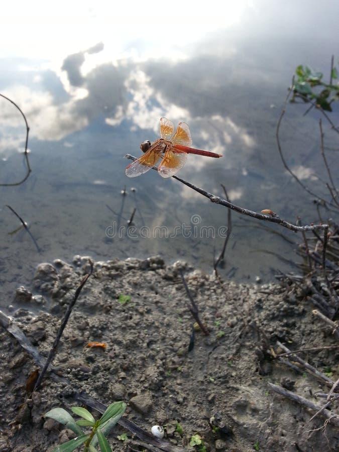 Красивый dragonly стоковая фотография rf