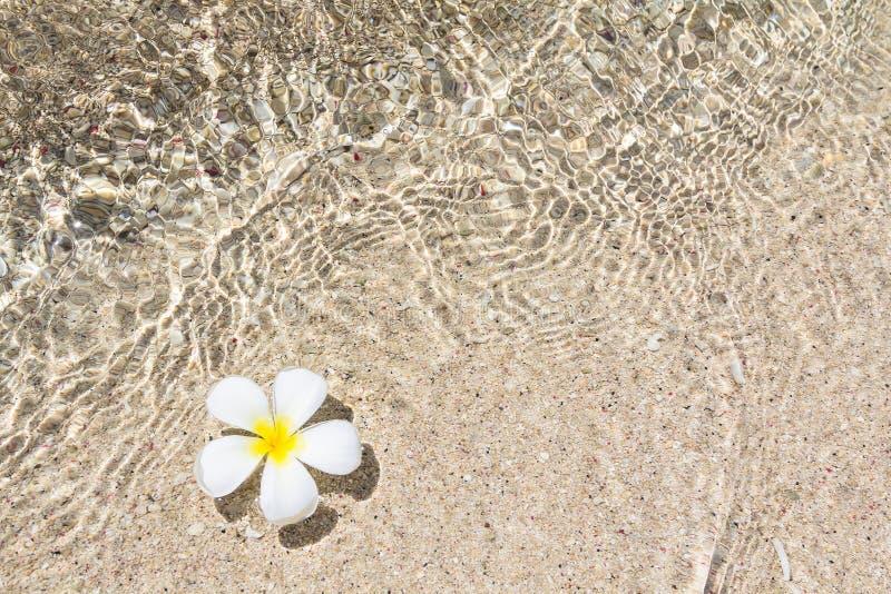 Красивый frangipani цветка стоковое фото