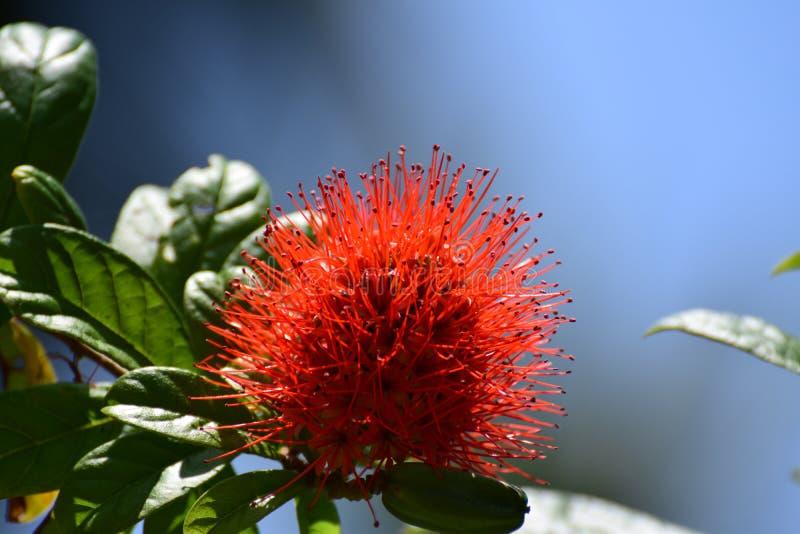 Красивый hawalian цветок стоковые фото