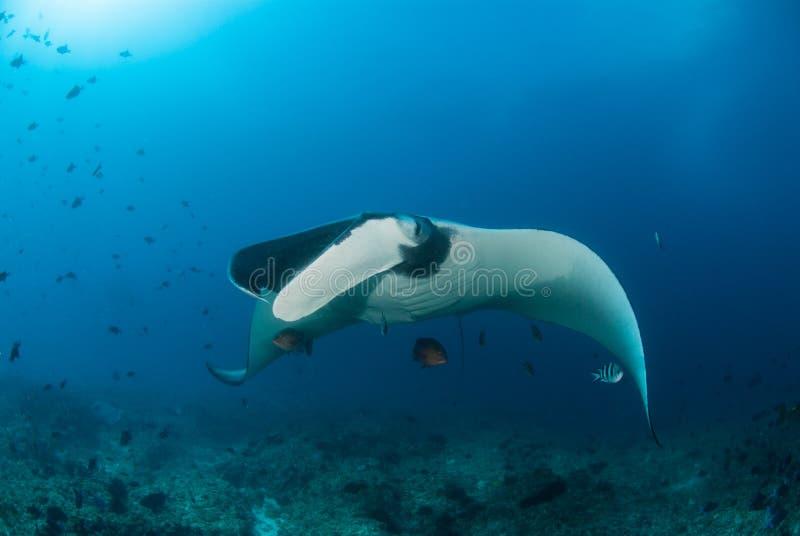 Красивый manta скользя над рифом стоковые изображения rf