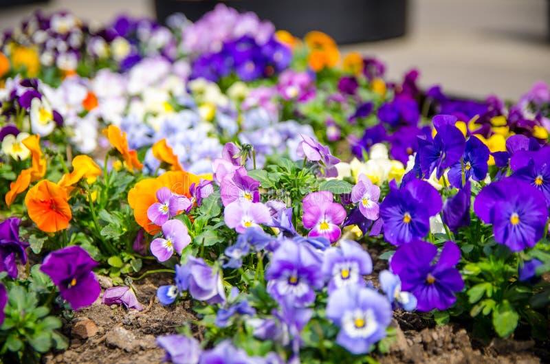 Красивый multicolor завод цветков или pansies pansy с ярким f стоковое изображение