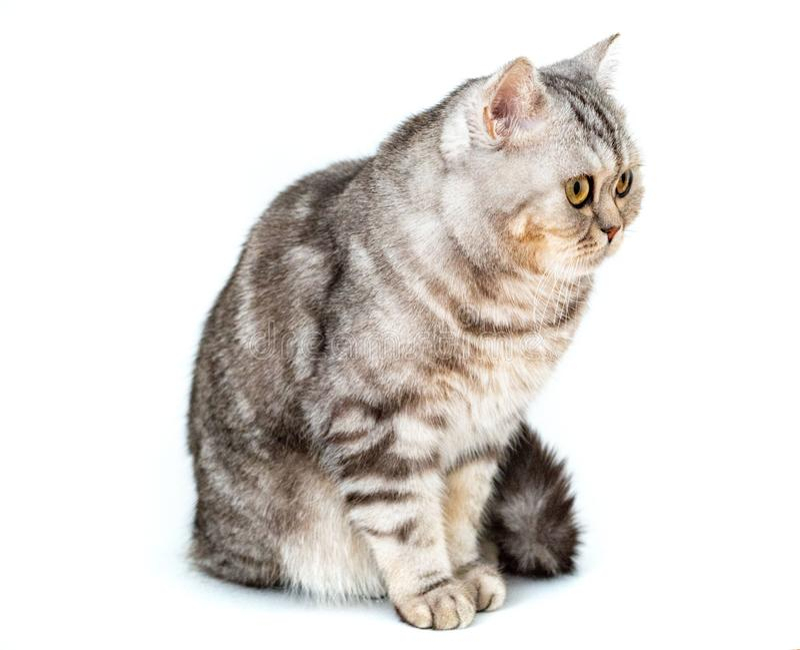 Красивый striped кот сидя на белой предпосылке стоковые фотографии rf
