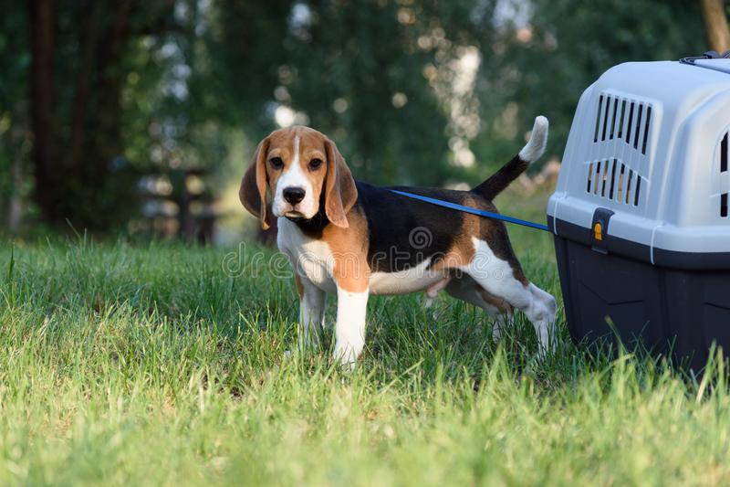 Красивый Tricolor щенок английского пребывания бигля около его коробки перемещения на зеленой зеленой траве стоковое фото