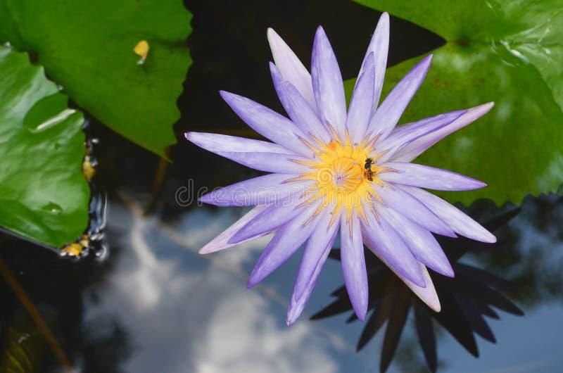Красивый waterlily или цветок лотоса в пруде стоковые изображения rf