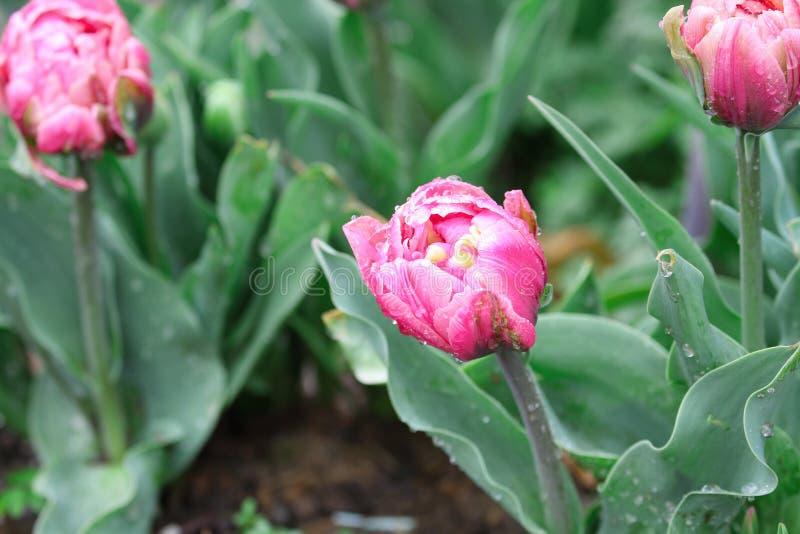 Красивым тюльпан раздражанный двойником розовый после дождя стоковое изображение