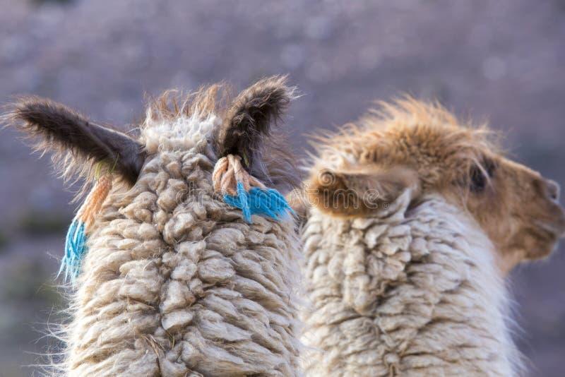 2 красивых ламы, Аргентина стоковая фотография rf