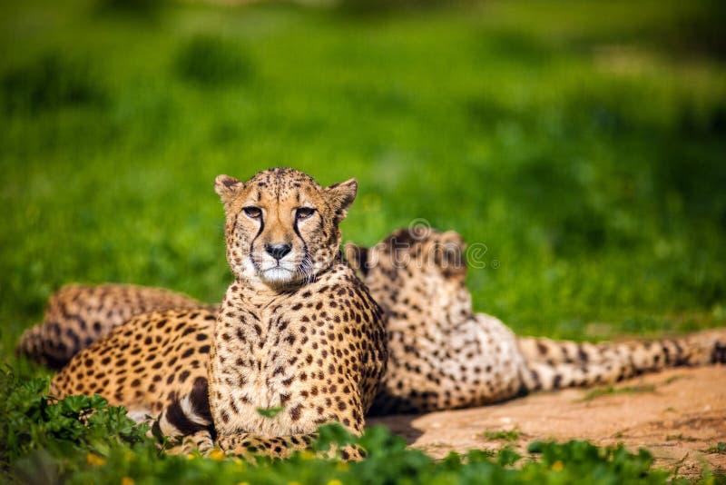 2 красивых гепарда отдыхая и загорая на зеленой траве стоковая фотография rf