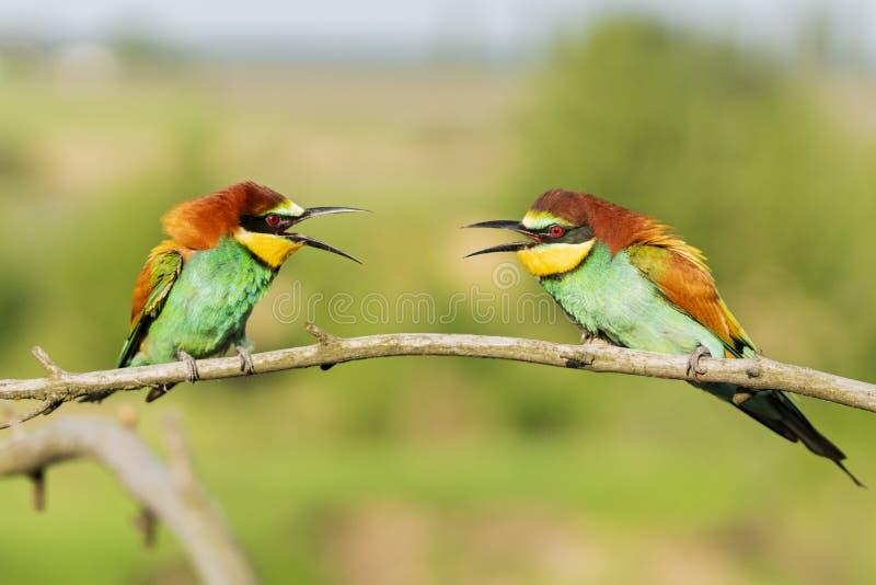 2 красивых красочных птицы на ветви связывают стоковое изображение rf