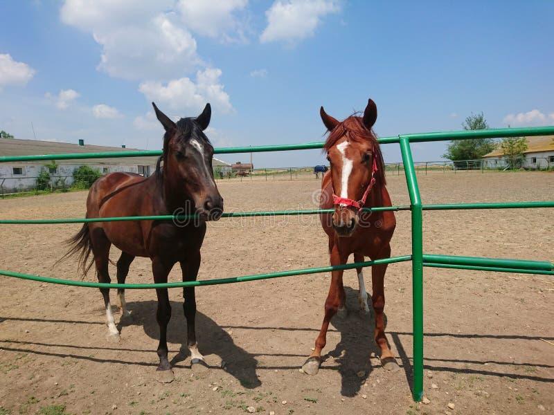 2 красивых лошади племенника идут на ферму против голубого неба стоковые фото