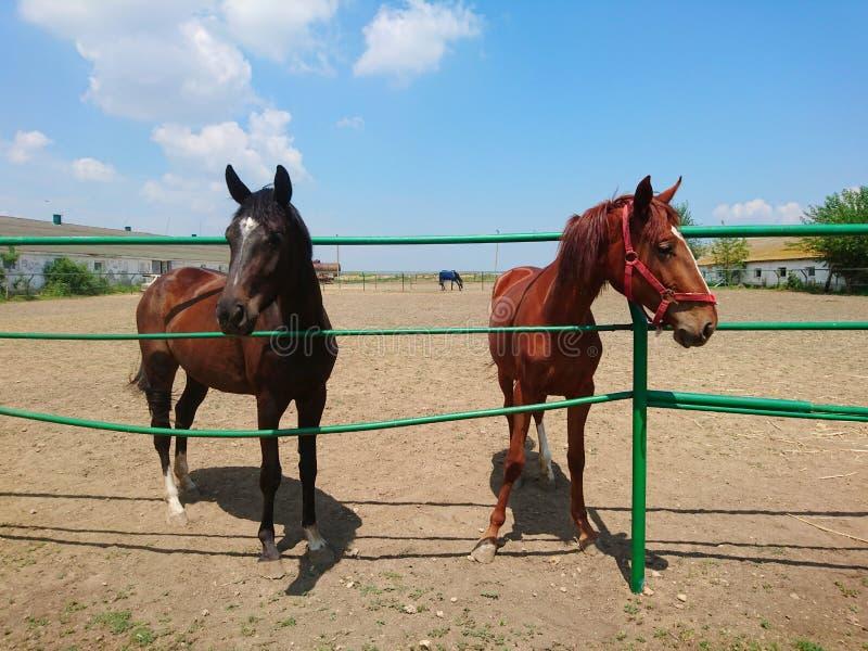 2 красивых лошади племенника идут на ферму против голубого неба стоковое фото