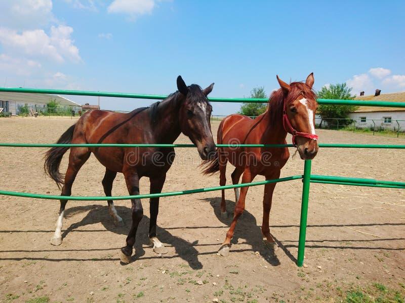 2 красивых лошади племенника идут на ферму против голубого неба стоковые фотографии rf