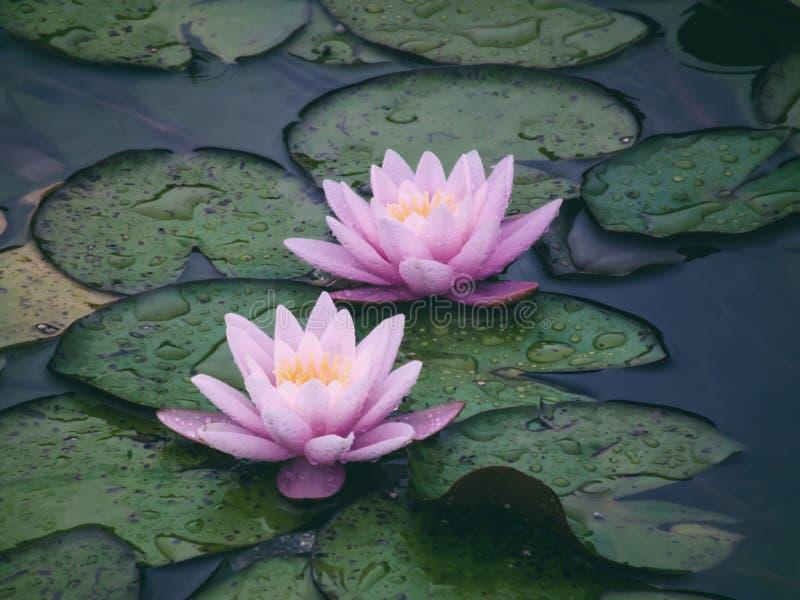 2 красивых розовых лилии воды после дождя стоковые изображения