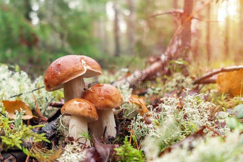 3 красивых edulis подосиновика известного как плюшка пенни в сосновом лесе на восходе солнца стоковые фото