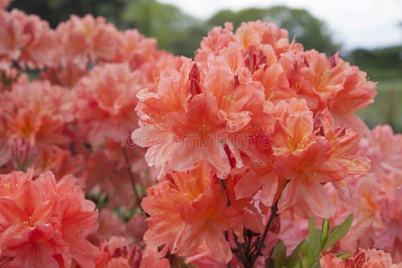 Красная азалия Куст рододендрона в саде Красивые цветки стоковые фотографии rf