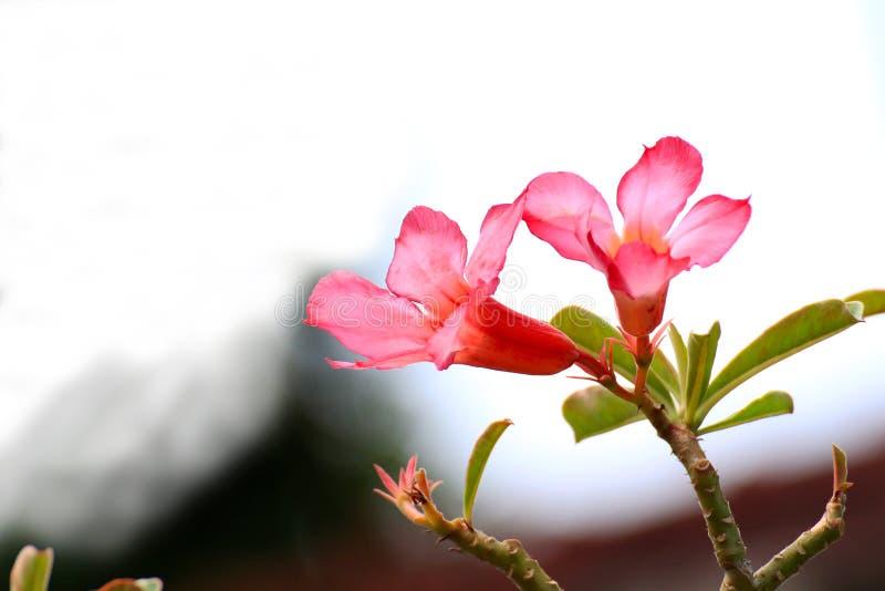 Красная азалия цветет красивое стоковое изображение rf