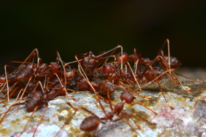 Красная армия муравеев стоковое фото rf