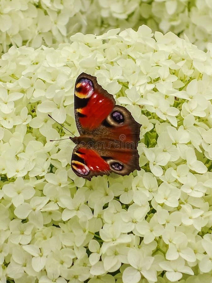 Красная бабочка в парке pueckler fuerst в плохом muskau стоковое изображение rf