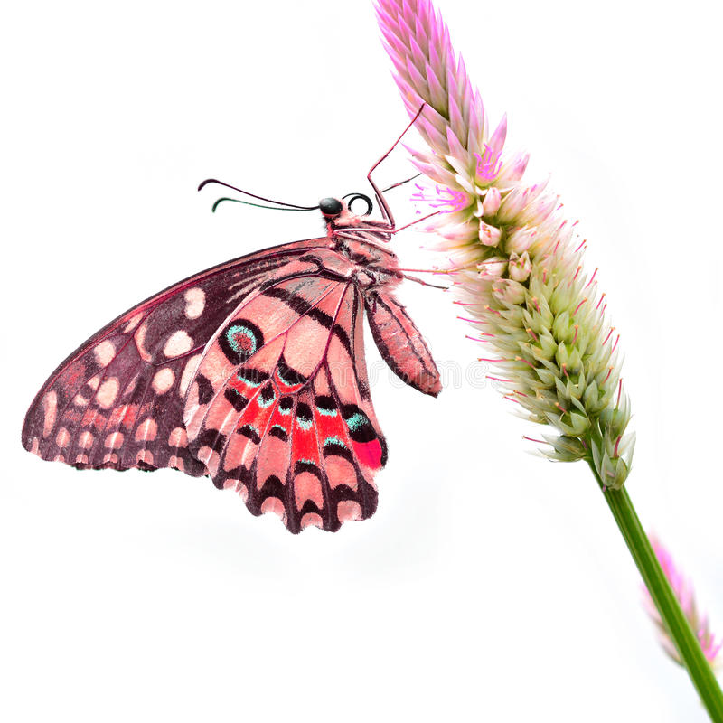 Красная бабочка на цветке стоковые фотографии rf