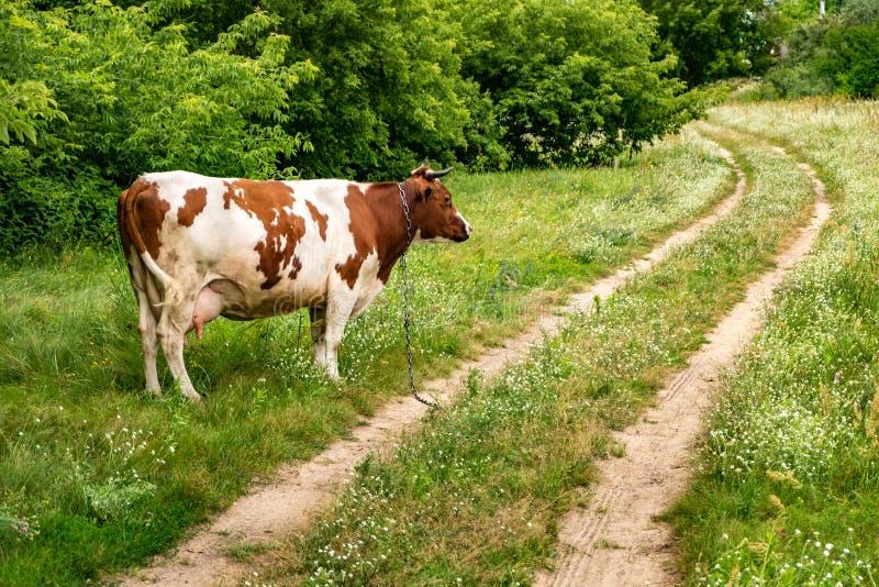 Красная белая корова на поле около тропы стоковые фотографии rf