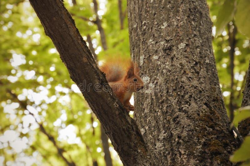 Красная белка в дереве environment территория парка стоковые фото
