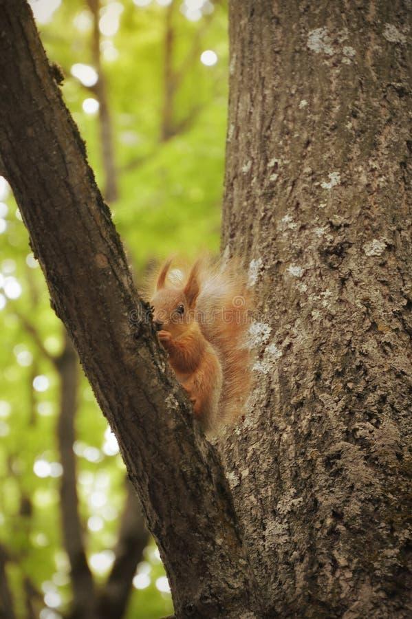 Красная белка в дереве environment территория парка стоковое фото rf