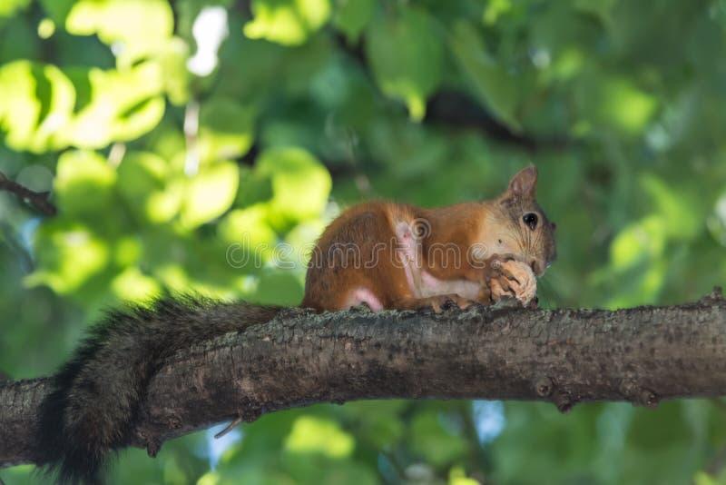 Красная белка грызет гайку на ветви дерева стоковое фото rf