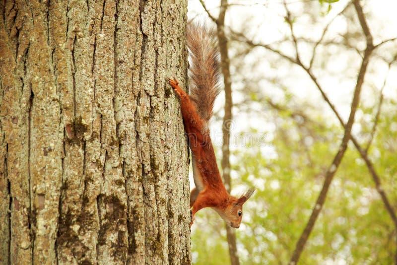 Красная белка карабкается вниз с дерева стоковая фотография rf