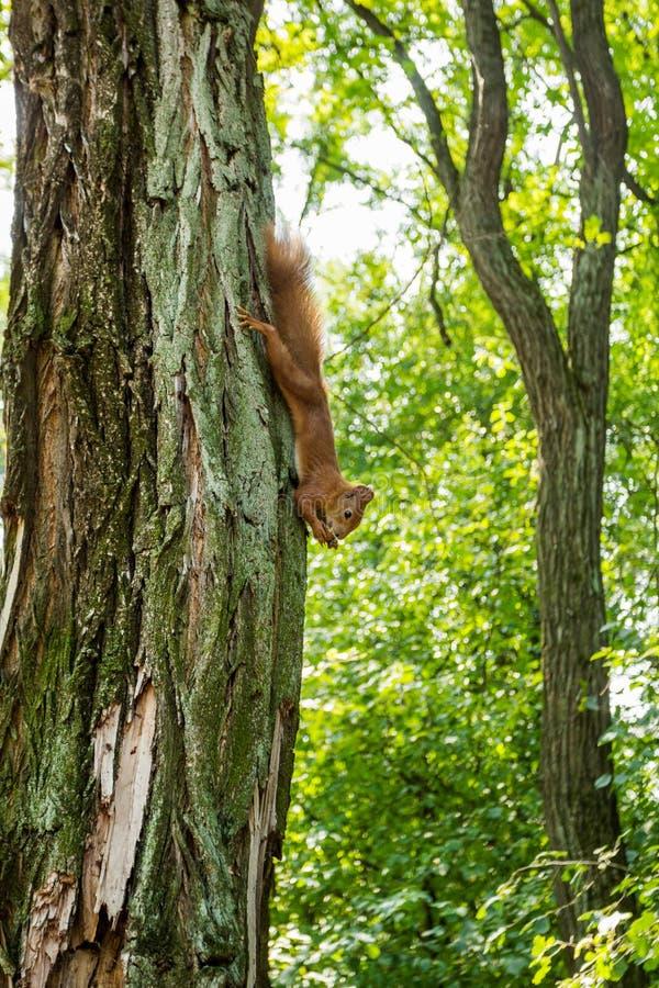 Красная белка на дереве в лесе ест гайку, вверх ногами Вертикально стоковое фото rf