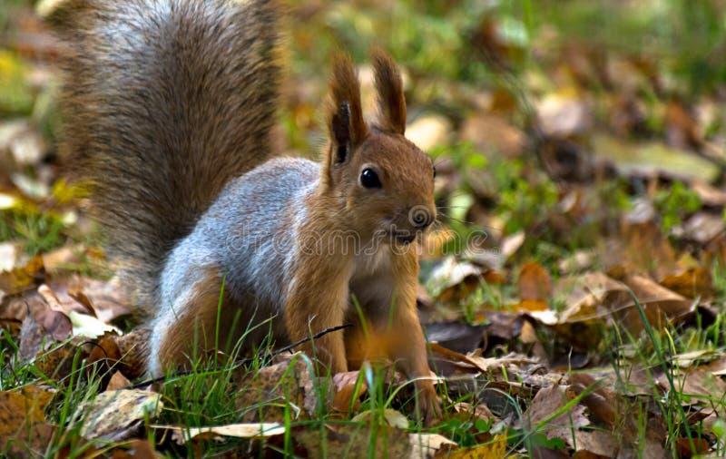 Красная белка, серое пальто зимы, скача в парк осени, зеленая трава, желтый цвет выходит стоковые фото