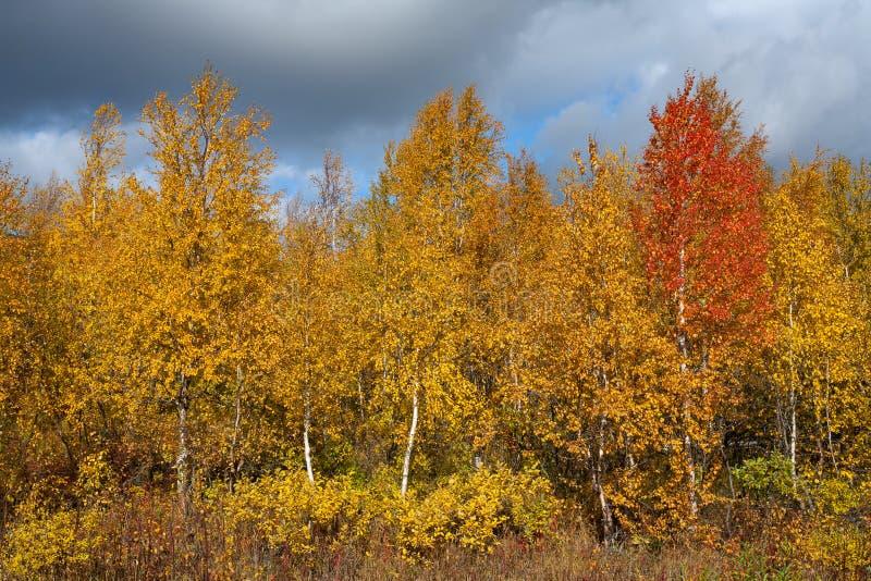 Красная береза среди желтого цвета в осени стоковое фото