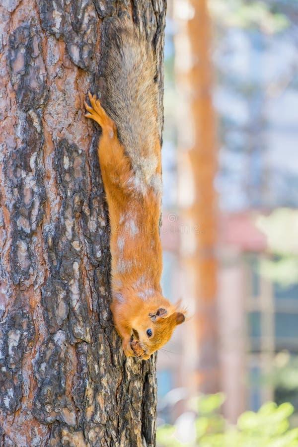 Красная белка сидя на дереве и ест стоковые изображения rf