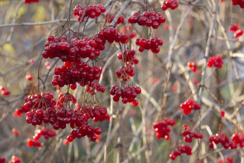 Красная ветвь калины в саде Ягоды и листья opulus калины калины на открытом воздухе в падении осени стоковое фото rf