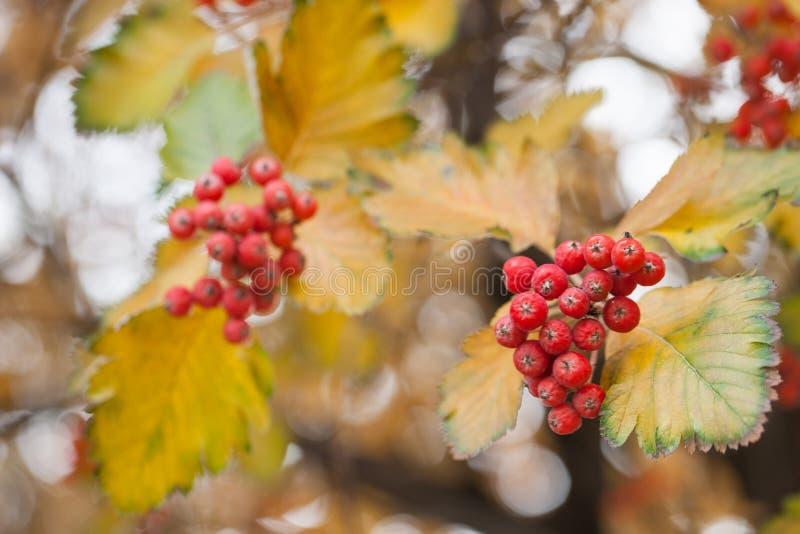 Красная ветвь калины в саде Ягоды и листья opulus калины калины на открытом воздухе в падении осени Пук красного цвета стоковые фото