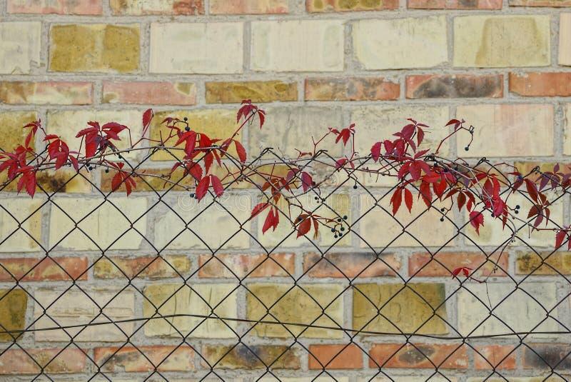Красная виноградина выходит на железную загородку решетки около кирпичной стены стоковая фотография