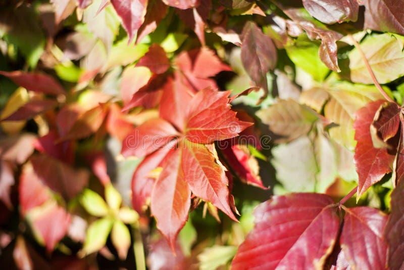 Красная виноградина выходит на запачканный зеленый конец предпосылки листвы вверх, макрос картины текстуры листьев осени золотой, стоковая фотография rf