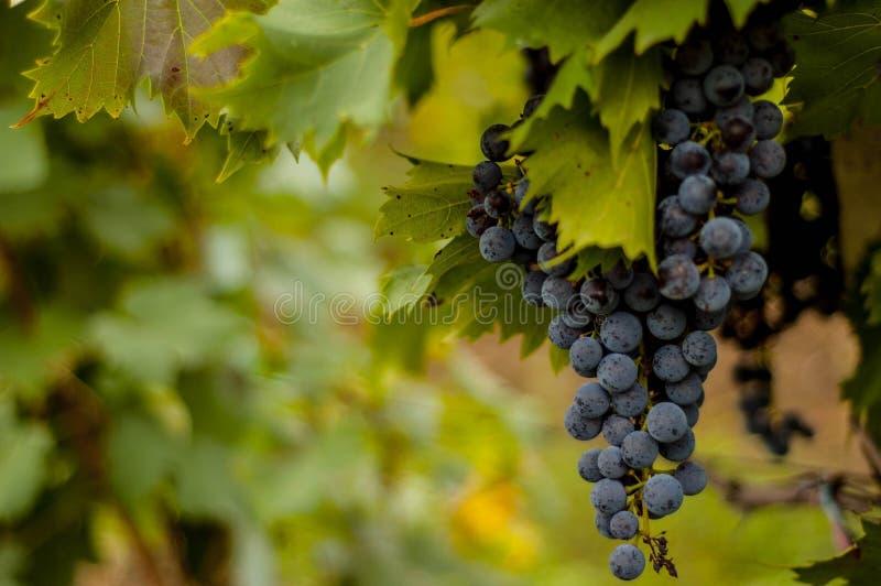Красная виноградина в солнечном винограднике стоковые изображения rf