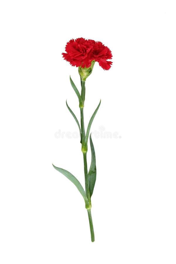Красная гвоздика стоковое изображение