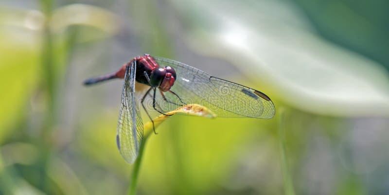 Красная гостиница dragonfly в зеленых лист стоковые фотографии rf