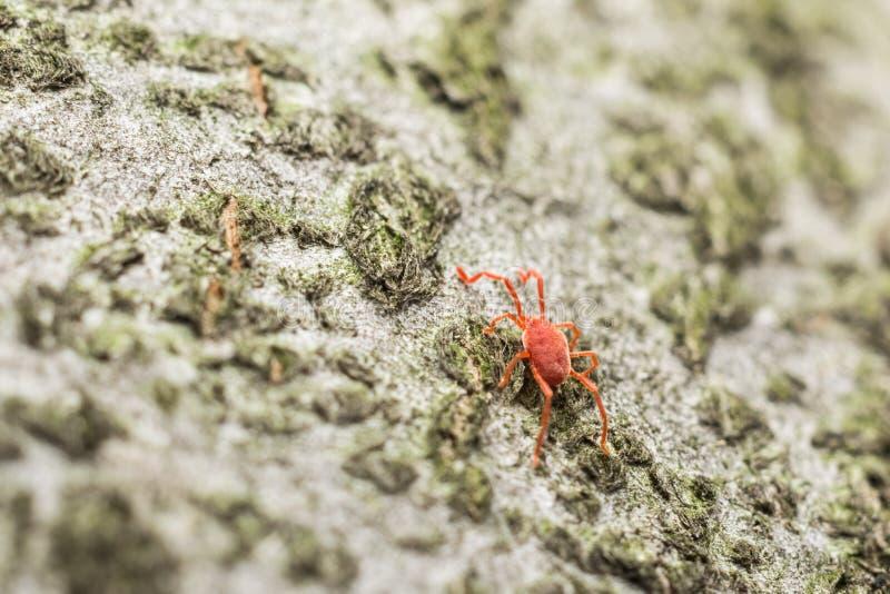 Красная лепта бархата стоковые фото