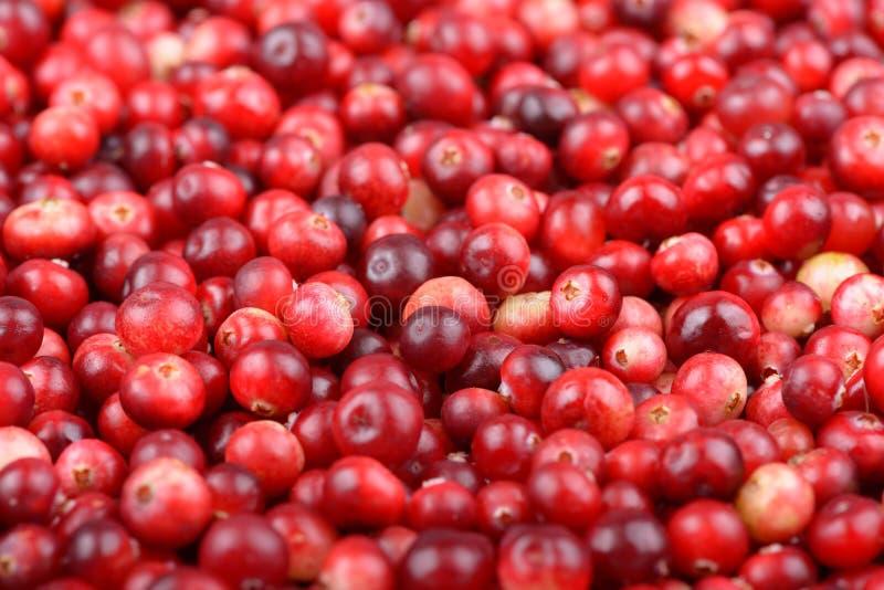 Красная зрелая предпосылка клюкв Ягоды foxberry Cowberry стоковые фотографии rf
