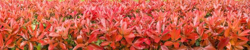 Красная изгородь куста fraseri photinia стоковая фотография rf