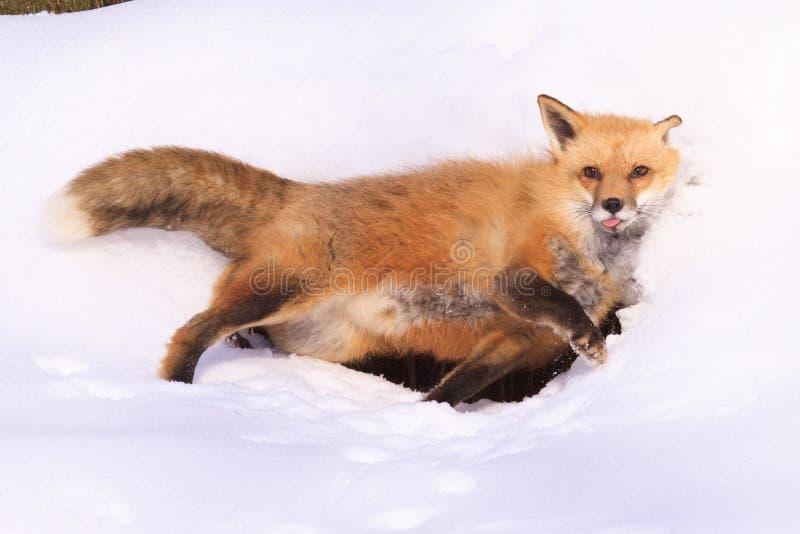 Красная лиса играя вокруг в снеге стоковое фото