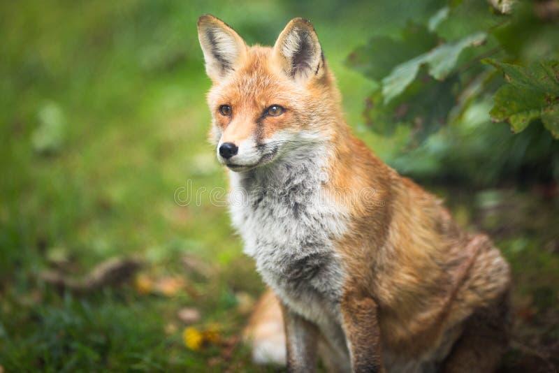 Красная лиса & x28; Vulpes& x29 лисицы; стоковое фото rf
