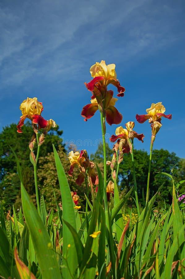Красная и желтая радужка на предпосылке сада стоковые изображения