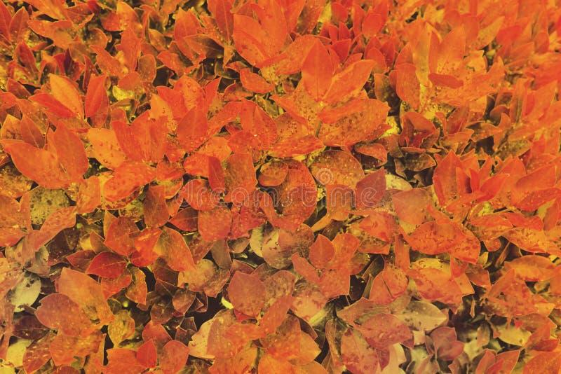 Красная и оранжевая влажная предпосылка листьев осени стоковые фотографии rf