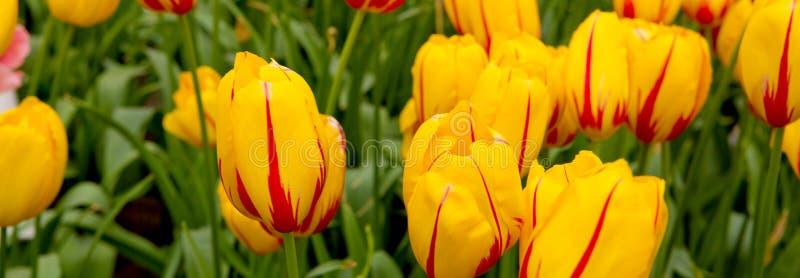 Красная и оранжевая предпосылка тюльпанов стоковые изображения rf