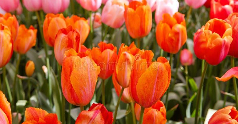Красная и оранжевая предпосылка тюльпанов стоковое фото rf