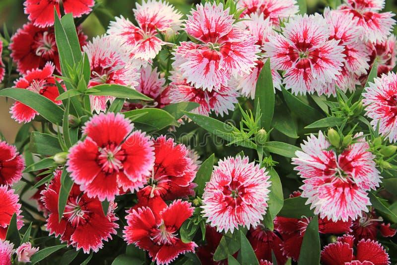 Красная и розовая гвоздика стоковое фото rf